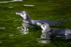 Mały pingwin pływa w jeziorze fotografia stock