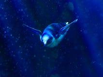 Mały pingwin w głębokiej wodzie zdjęcia royalty free