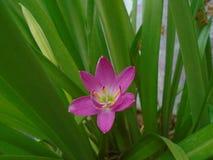 mały pinky kwiat zdjęcia royalty free