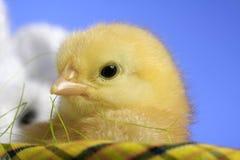 mały pisklęcy Easter zdjęcie stock