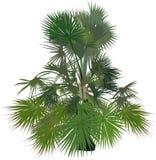 Mały pojedynczy bujny zieleni drzewko palmowe na bielu ilustracja wektor