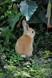 Mały Pomarańczowy królik Zdjęcie Stock