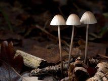 Mały, pospolity grzyb, Mycena Polygramma, piękny położenie Fotografia Stock