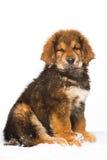 Mały pracownik ochrony - czerwony szczeniak Tybetański mastif Zdjęcie Stock