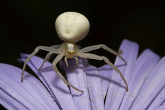 Mały przejrzysty kwiatu pająk Fotografia Stock
