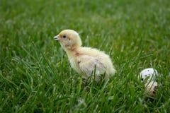 Mały przepiórki kurczątko z jajkami w zielonej trawie Teksas przepiórka obraz stock