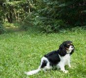 Mały psi bawić się na zielonej trawie przy słonecznym dniem zdjęcie stock