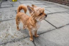 Mały psi czekanie dla jej właściciela Obrazy Stock