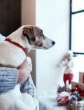 Mały psi Jack Russell Terrier przyglądający za okno, dekorującym z Bożenarodzeniowym wystrojem Samiec wręcza trzymać zwierzęcia d zdjęcie stock
