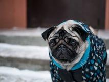 Mały psi mops w kurtce piękny pies fotografia stock