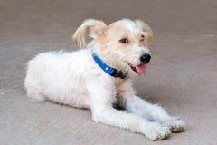 Mały psi obsiadanie na podłoga i patrzeć naprzód z odbitkowym zdrojem Zdjęcia Stock