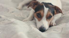 Mały psi traken Jack Russell Terrier kłaść na łóżku zdjęcie wideo