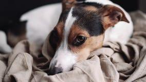 Mały psi traken Jack Russell Terrier kłaść na jego miejscu zbiory