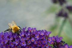 Mały pszczoły karmienie na Buddleia davidii kwiacie Fotografia Royalty Free