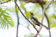Mały ptak na gałęziastej łasowanie mrówce Obrazy Stock