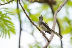 Mały ptak na gałęziastej łasowanie mrówce Obraz Royalty Free