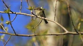 Mały ptak siedzi na gałąź i wtedy skacze daleko zdjęcie wideo