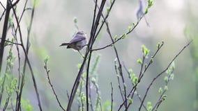 Mały ptak skacze w cienkich gałąź zbiory