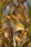 Mały ptak w wczesnego poranku słońcu na gałąź Zdjęcia Royalty Free