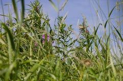 mały ptak w wysokiej łąkowej trawie Obraz Royalty Free