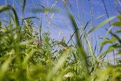 mały ptak w wysokiej łąkowej trawie Zdjęcia Royalty Free