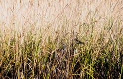 Mały ptak zaciemniający wysoką śródpolną trawą fotografia royalty free