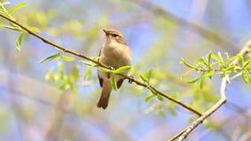 Mały ptaka śpiewającego Chiffchaff doskakiwanie i śpiew w wiośnie opuszczamy zbiory wideo