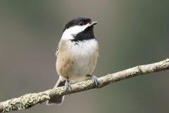 mały ptasi chickadee zdjęcia stock