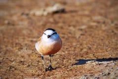 mały ptasi obsiadanie na brąz ziemi obraz stock