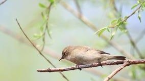 Mały ptasi obsiadanie na gałęziastym chlaniu w wiatrze zbiory wideo