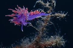 Mały purpurowy bezkręgowiec zdjęcie royalty free