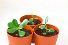 Mały roślina grubosz & x28; pieniądze tree& x29; w garnku Trzy rośliny Zdjęcia Stock