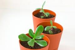 Mały roślina grubosz & x28; pieniądze tree& x29; w garnku Trzy rośliny Obrazy Stock