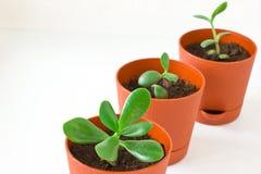 Mały roślina grubosz & x28; pieniądze tree& x29; w garnku Trzy rośliny Zdjęcia Royalty Free