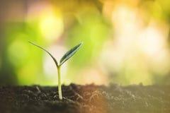Mały rośliny dorośnięcie na ziemi, nowy życia pojęcie z pięknym światło słoneczne natury tłem Fotografia Royalty Free
