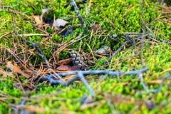 Mały rożek kłama na mech Jesieni lasowa Miękka fotografia Zdjęcia Royalty Free