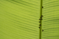 Mały robactwo Przygotowywający dla życia codziennego przy rankiem pod Bananowym liściem obrazy stock