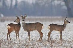 Mały roe jeleni stado w zimie fotografia stock