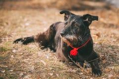 Mały Rozmiar czerń Mieszający trakenu pies Odpoczywa W Suchym Zdjęcie Stock