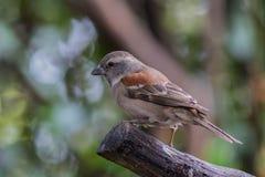 Mały ryży barwiony ptak umieszczał na kiju Zdjęcie Stock