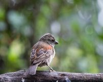 Mały ryży barwiony ptak umieszczał na kiju Obraz Stock