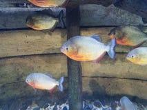 Mały rybi dopłynięcie z drewnem i kamieniami fotografia royalty free
