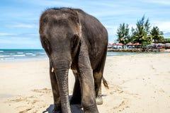 Mały słoń chodzi na plaży zdjęcia stock