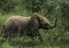 Mały słoń chodzi w trawie fotografia royalty free