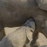 Mały słoń karmią od wielkiego szarego słonia zdjęcia royalty free