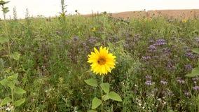 Mały słonecznik wśród gąszczy fazelia na pszenicznym polu i zbiory wideo