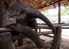 Mały słonia dziecko, przyroda, ssaki Zdjęcie Royalty Free