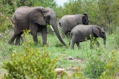 Mały słonia stado krzyżuje polanę przed ja obraz stock