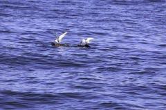 Mały seagull łapie belę który unosi się w morzu Zdjęcie Stock
