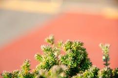 Mały sosna liść Zdjęcie Royalty Free